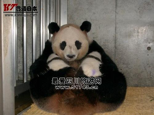 """日本白浜野生动物园的大熊猫""""梅梅""""病逝"""