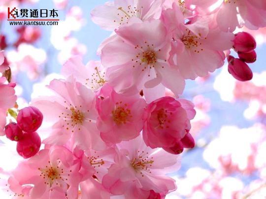 日本浪漫樱花树下