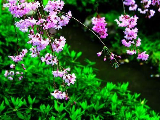 日本樱花:邂逅一段最温柔的时光