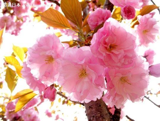 粉红的浪漫 日本樱花树下拉住爱人的手(组图)