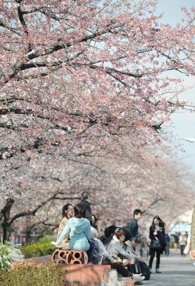 日本东京迎来樱花季吸引游客观赏