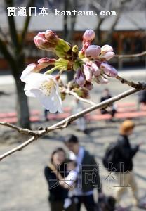 日本东京樱花绽放与2002年同创最早开花纪录