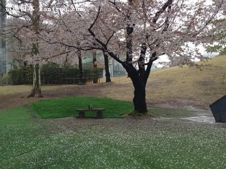 日本东京樱花飘落,花雨纷纷