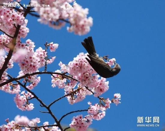 """#(视・觉)(1)鸟儿也""""醉""""樱"""