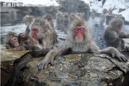 日本猴子喜欢泡温泉