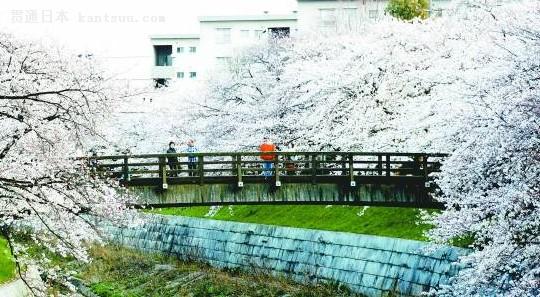 樱花 日本少女隐晦的示爱信物