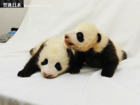 图为这两只可爱的熊猫宝宝