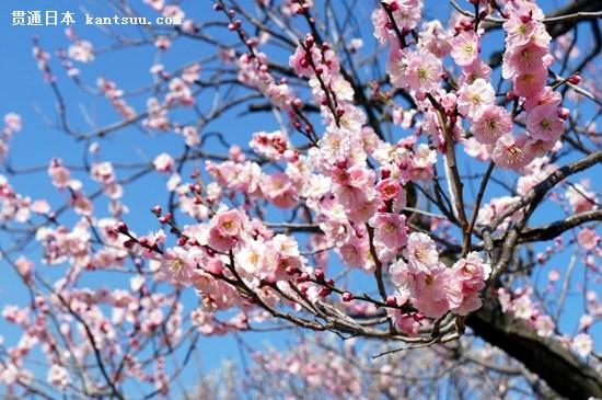 日本举行传统梅花节,游园赏花浪漫唯美。