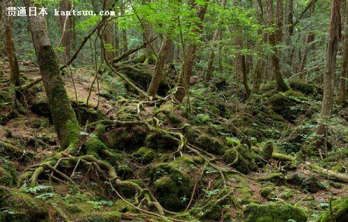 日本富士山下现自杀森林 每年移出上百具尸体