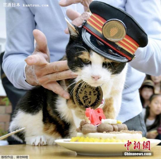"""资料图:日本和歌山电铁的花猫站长""""阿玉""""。"""