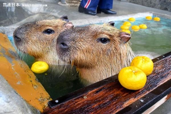 日本香川水豚冬至泡柚子温泉 憨态可掬(图片来源:朝日新闻网站)