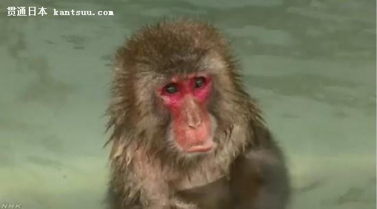 正在泡温泉的猴子。图片来源:日本放送协会(NHK)视频截图