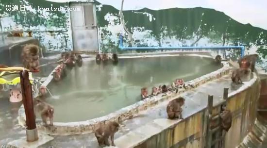 正在泡温泉的猴子。图片来源:日本放送协会(NHK)视频截图。